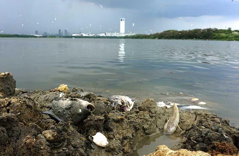 FISH KILL: Gatusan ka kilo sa nagkadaiyang matang sa isda sa pond A sa South Reclamation Project, Cebu City ang nangamatay gumikan sa tumang ka-init. (Alex Badayos)