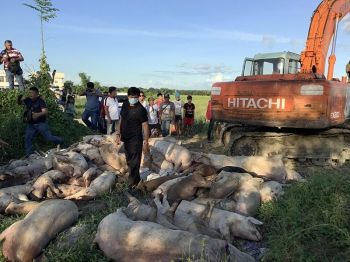 PAMPANGA. The San Simon local government and Department of Agriculture officials prepare to bury culled hogs believed to be infected by African Swine Fever. (Contributed photo)  onerror=