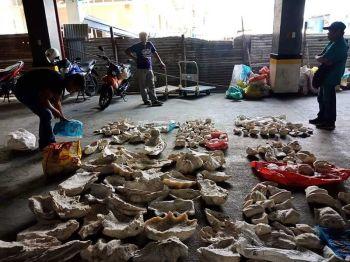 NASAKMIT: Mao kini ang giant clams nga nasakmit sa mga awtoridad gikan sa duha ka mga barangay sa lungsod sa Cordova. Daghan ang wa makahibawo nga ilegal ang paghupot ug pagbaligya niini dinhi sa nasod. (Tampo sa BFAR)