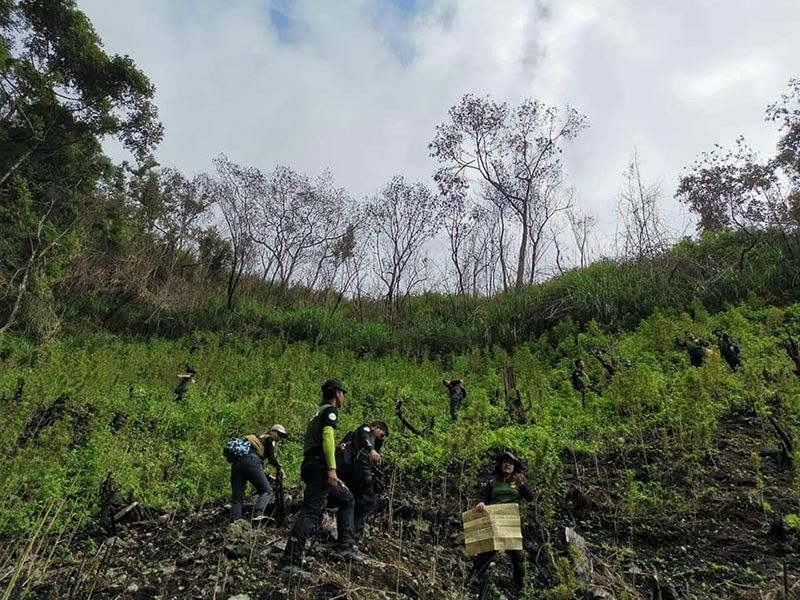 BAGUIO. Law enforcement units uprooted marijuana plants worth P17.14 million in five plantation sites at Barangay Loccong, Tinglayan, Kalinga on October 16 to 18. All illegal drugs were destroyed on-site. (Photo courtesy of PDEA-Cordillera)