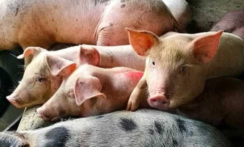 BABOY: Ang mga baboy gikan sa gawas sa Sugbo gidid-an gihapon nga makasud lakip sa ilang karne o produktong linata aron paglikay sa African Swine Ferver (ASF). (SunStar File Photo)