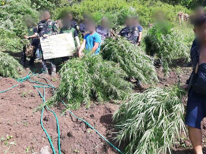 PLANTASYON SA MARIJUANA: Mao kini ang tago nga plantasyon sa marijuana sa bukirang barangay sa lungsod sa Balamban, Cebu nga gipang-ibot sa kapulisan. (Hulagway gikan sa website sa PDEA 7)