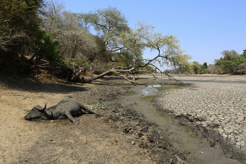 "ZIMBABWE. In this October 27 photo, the carcass of a buffalo lies on the edges of a sun-baked pool that used to be a perennial water supply in Mana Pools National Park, Zimbabwe. Elephants, zebras, hippos, impalas, buffaloes and many other wildlife are stressed by lack of food and water in the park, whose very name comes from the four pools of water normally filled by the flooding Zambezi River each rainy season, and where wildlife traditionally drink. The word ""mana"" means four in the Shona language. (AP)"