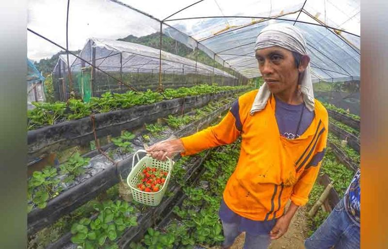 CEBU. A worker in Sergio's farm harvests strawberries every other day at P800 pesos a kilo. Sen. Cynthia Villar says farm tourism is among the business ideas that really interest overseas Filipino workers. Merging tourism and agriculture can fast-track the growth and development of farm tourism, which is gaining traction in the global tourism map. (SunStar File)