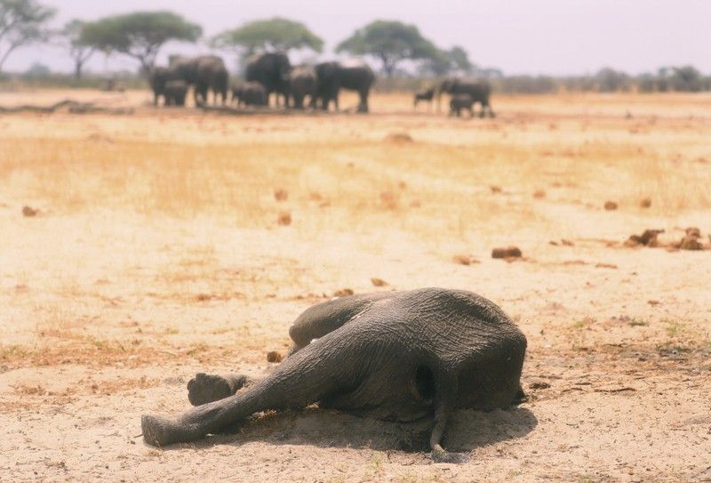 ZIMBABWE. In this photo taken Sunday, November 10, a dead elephant lays in the Hwange National Park, Zimbabwe. More than 200 elephants have died amid a severe drought, Zimbabwe's parks agency said Tuesday, November 12, and a mass relocation of animals is planned to ease congestion. (AP)