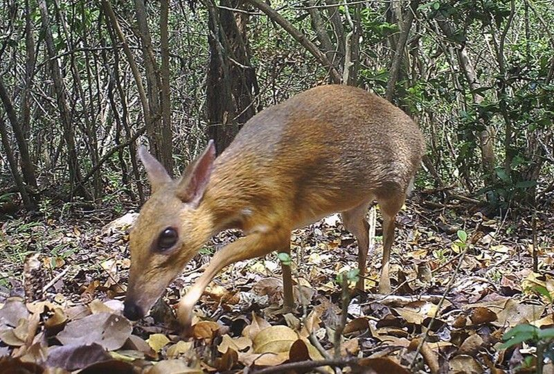 VIETNAM. In this June 21, 2018, photo, a silver-backed chevrotain is captured by camera trap in an undisclosed forest in south central Vietnam. The species, commonly known as Vietnamese mouse deer, was rediscovered after 30 years. (AP)
