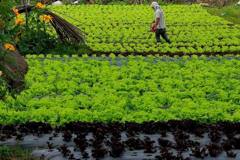 BAGUIO. A farmer tends to his rows of green and purple lettuce as traders in La Trinidad, Benguet noted oversupply of the green leafy vegetable causing the price to dip at P15 to P30 per kilo. (Photo by Dave Leprozo Jr.)