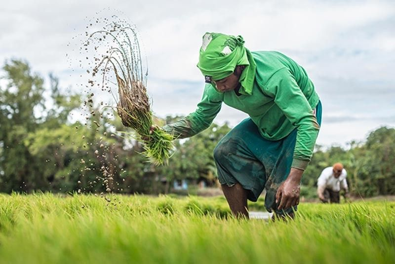 (PHOTO courtesy of Philippine Rice Research Institute or Philrice)