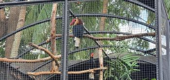 Hornbills perching on their cage at the Negros Forest Park. (Photo by Carla N. Canet)