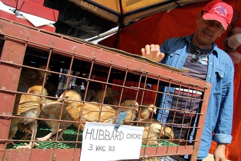 BAGUIO. Kent Bastian sells a week-old free range chicken at P90 each at the Adivay trade fair in Wangal, La Trinidad, Benguet. (Photo by Jean Nicole Cortes)