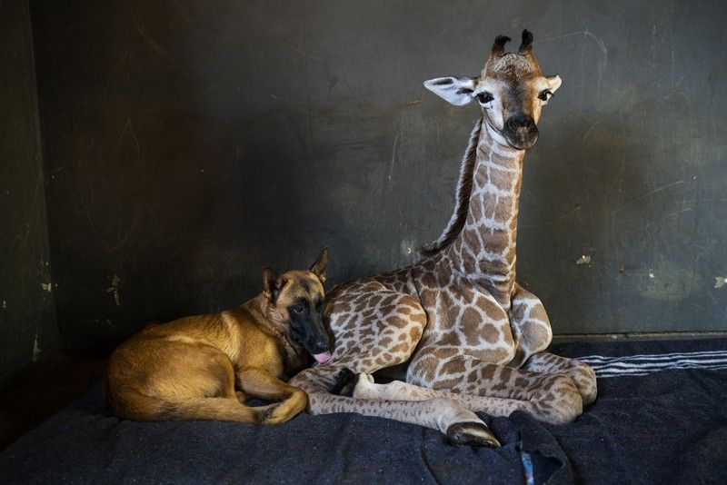 SOUTH AFRICA. Hunter, a young Belgian Malinois, keeps an eye on Jazz, a nine-day-old giraffe, at the Rhino orphanage in the Limpopo province of South Africa, Friday, November 22. Jazz, who was brought in after being abandoned by her mother at birth, is being taken care of and fed at the orphanage some three hours North of Johannesburg, and has been befriended by Hunter and its sibling Duke. (AP)