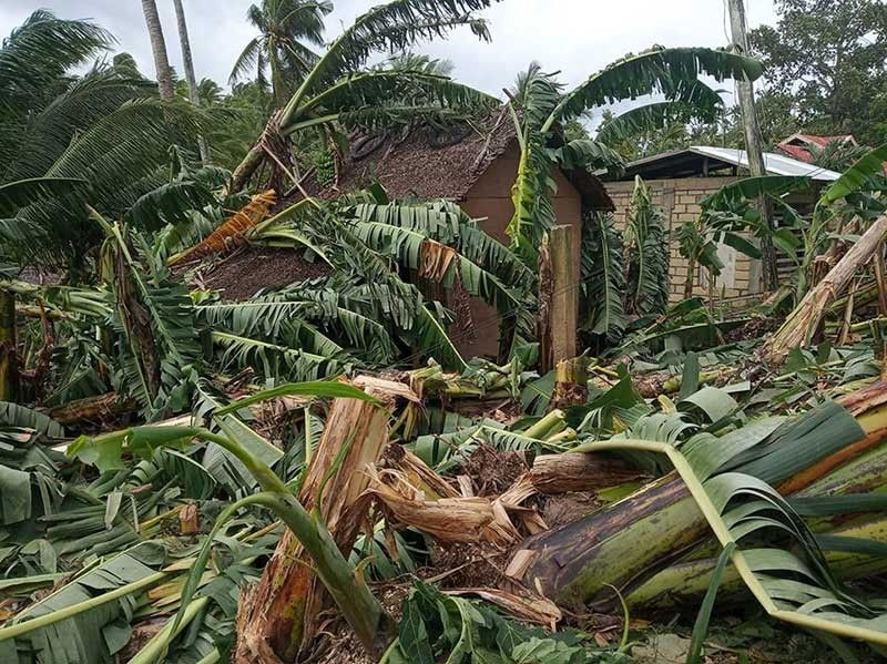 BICOL. Typhoon Tisoy destroys banana plants. (Photo by Alan Tangcawan)