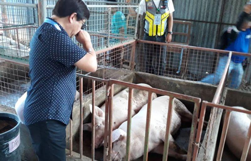 BAHO: Mismo si Mayor Junard Chan sa dakbayan sa Lapu-Lapu nanampong sa iyang ilong sa kabaho sa piggery farm nga gireklamo sa mga molupyo sa Barangay Pajac. (Gregy C. Magdadaro)