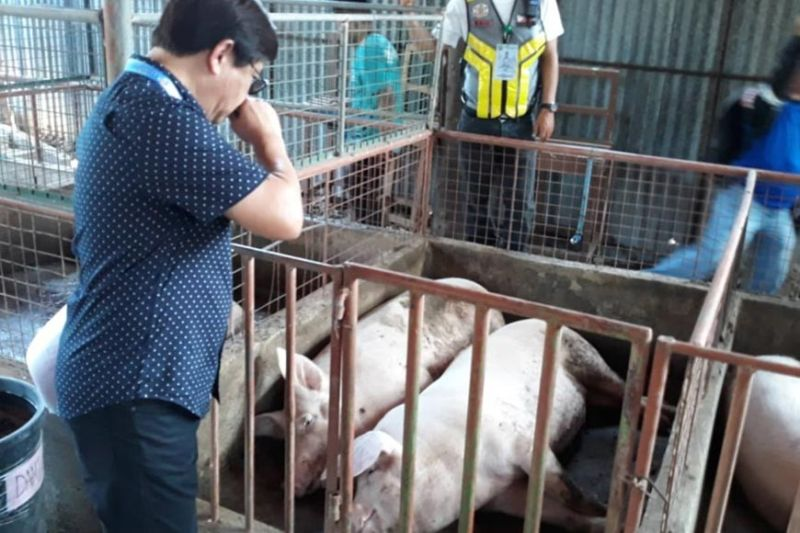 "SMELL LIKE HOG filth. Lapu-Lapu City Mayor Junard ""Ahong"" Chan covers his nose as he inspects a piggery, which emits a foul smell in a residential area in Barangay Pajac on Monday, Dec. 9, 2019. The piggery and a poultry den in Barangay Mactan were ordered closed by the mayor for several violations, including operating without proper permits from the City. (Contributed photo / Lapu-Lapu City PIO)"