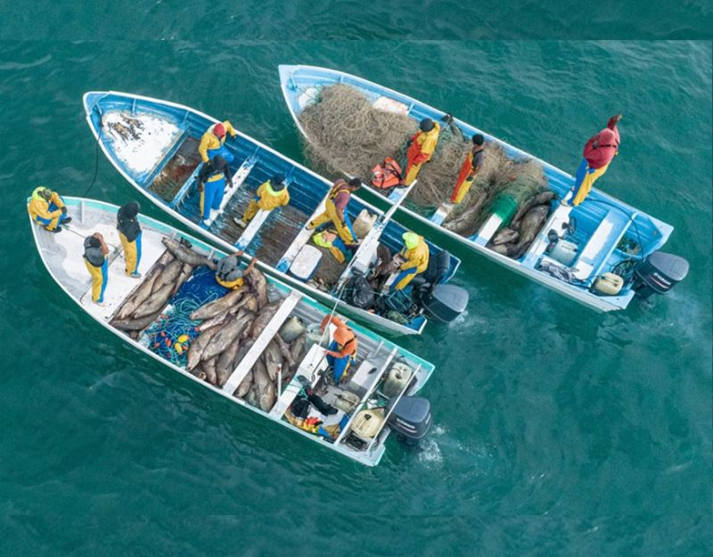MEXICO. In this Sunday, December 8, photo released by the Sea Shepherd Conservation Society, dozens of endangered totoaba fish are seen captured inside small fishing boats in the Gulf of California, near San Felipe, Mexico. Sea Shepherd operates in the area to remove the illegal gillnets which also trap the world's most endangered marine mammal, the vaquita porpoise, but the group said the mass fishing seen Sunday was a new tactic, in which a number of boats would surround and enclose totoabas to ensure they couldn't escape the nets. (AP)