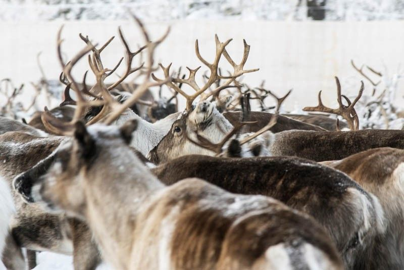 SWEDEN. In this November 26, 2019, reindeer in a temporary corral in Rakten, outside of Jokkmokk, before being transported to winter pastures. A collaboration between reindeer herders and scientists is attempting to shed light on dramatic weather changes and develop tools to better predict weather events and their impacts. Unusual weather patterns in Sweden's arctic region seem to be jeopardizing the migrating animals' traditional grazing grounds, as rainfall during the winter has led to thick layers of snowy ice that block access to food. (AP)