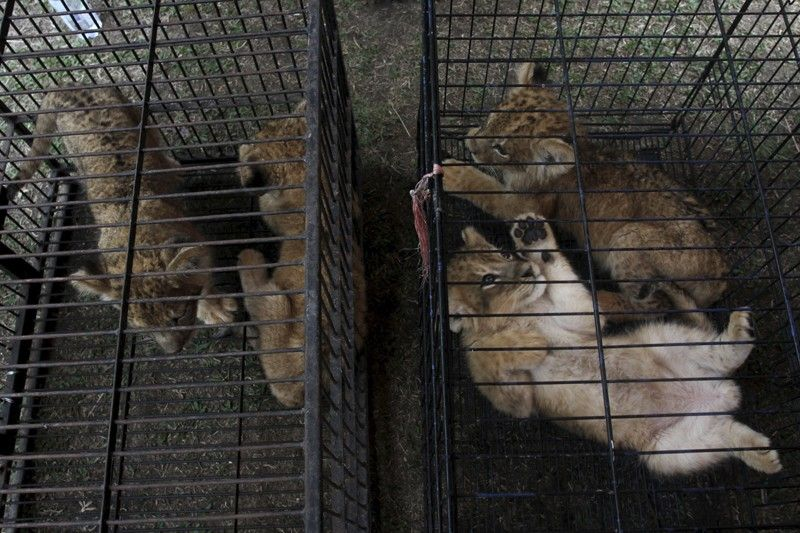 INDONESIA. Lion and leopard cubs sit in cages as they are displayed during a police press conference in Kampar, Riau, Indonesia on Sunday, December 15. Indonesian police said on Sunday that they have arrested two men suspected being part of a ring that poaches and trades in endangered animals and seized from them lion and leopard cubs and dozens of turtles. (AP)