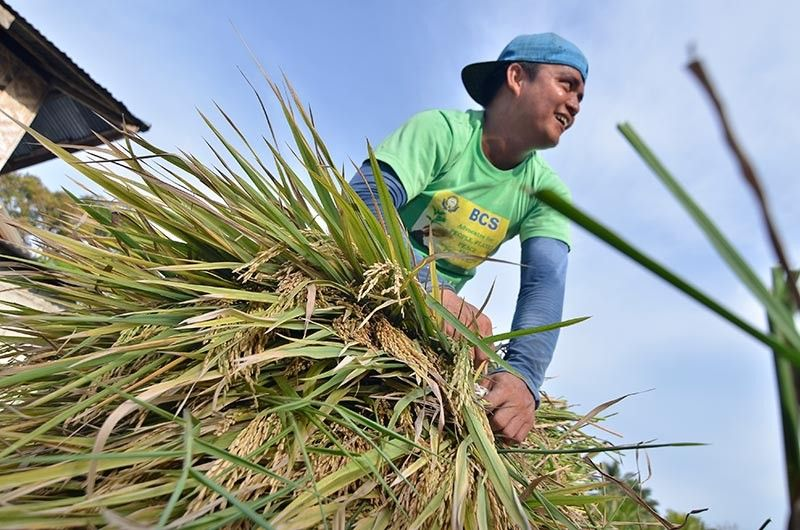 SEEDS. According to the law, the national government assigns 30 percent or P3 billion out of the P10 billion RCEF for rice seed development, propagation, and promotion. (SunStar file photo)
