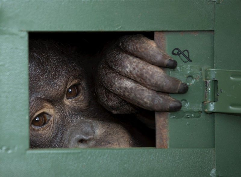 THAILAND. Cola, 10-year-old female orangutan waits in a cage to be sent back to Indonesia at a Suvarnabhumi Airport in Bangkok, Thailand on Friday, December 20, 2019. Wildlife authorities in Thailand repatriated two orangutans, Cola and seven-year-old Giant, to their native habitats in Indonesia in a collaborative effort to combat the illicit wildlife trade. Cola was born in a breeding center from two smuggled orangutans which were sent back to Indonesia several years ago, according to the Department of National Park, Wildlife and Plant Conservation. (AP)