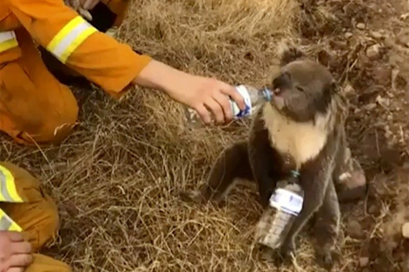 AUSTRALIA. In this image made from video taken on December 22, 2019, and provided by Oakbank Balhannah CFS, a koala drinks water from a bottle given by a firefighter in Cudlee Creek, South Australia. Thousands of koalas are feared to have died in a wildfire-ravaged area north of Sydney, further diminishing Australia's iconic marsupial, while the fire danger accelerated Saturday, December 28, 2019 in the country's east as temperatures soared. (AP)