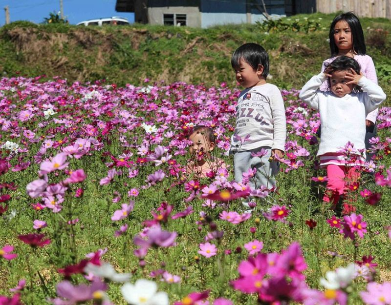 BAGUIO. The cosmos dancing flower located at Haight's place in Paoay, Atok Benguet is becoming a new tourist attraction. The seeds, imported from Japan were planted in October 2019, have grown to a beautiful flower mesmerizing locals and tourists. (Photo by Jean Nicole Cortes)