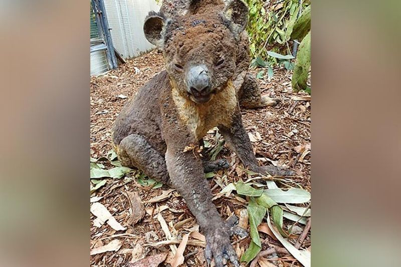 SOUTH AUSTRALIA. This photo taken in early January 2020 and provided on Sunday, January 5, by Dana Mitchell from the Kangaroo Island Wildlife Park shows a rescued koala injured in a bushfire in Kangaroo Island, South Australia. Devastating wildfires over recent days have undone decades of careful conservation work on Kangaroo Island and have threatened to wipe out some of the island's unique fauna altogether. (AP)