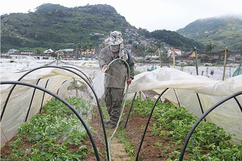 A farmer at the La Trinidad strawberry farm waters strawberry plants in preparation for the strawberry season which starts on December until March. (Photo by Jean Nicole Cortes)