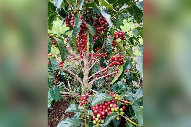 DAVAO. Coffee tree with cherries. (Photo by Gina Ellorango)