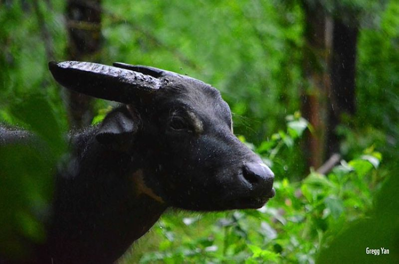 Tamaraw (Photo by Gregg Yan)
