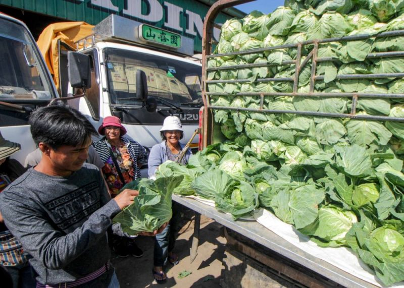 BENGUET. A vegetable trader checks the quality of cabbages delivered at the La Trinidad Trading Post from Buguias. Farmers take chances when selling their produce as prices of vegetables vary from time to time. (Photo by Jean Nicole Cortes)