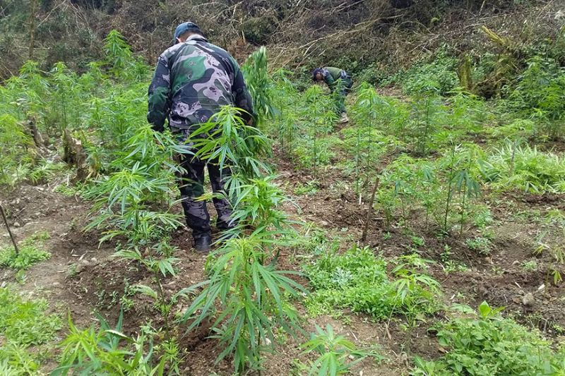 CORDILLERA. The Police Regional Office – Cordillera is studying the suggestion of a Kalinga official on the use of chemicals to eradicate marijuana. (Contributed photo)