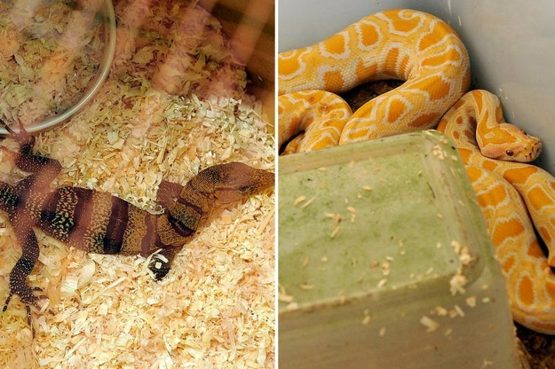 WILDLIFE. The gray monitor lizard (left) and the albino Burmese python were among the wildlife confiscated in raids made in Cebu City in 2017. Authorities recently called for a ban in the trade of these animals to prevent the spread of the novel coronavirus believed to have originated from wild animals. (SunStar file photos)