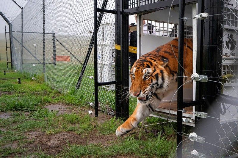 SOUTH AFRICA. Itza, one of 17 rescued tigers and lions from Guatemala circuses, is released at the Animal Defenders International Wildlife Sanctuary in Winburg, South Africa, Tuesday January 21, 2020. (AP)