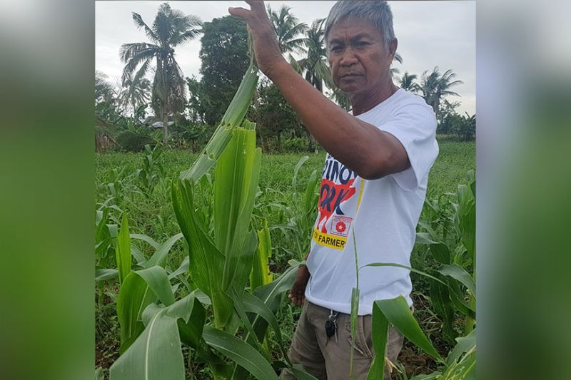 AKLAN. Nestor Cesar shows the leaves of sweet corn that were partly eaten by the fall armyworm. (Jun N. Aguirre)