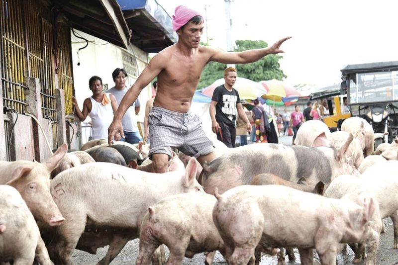 PIG OUT. A man guides pigs into an enclosure in the Agdao Public Market in Davao City. As African swine fever continues to spread among pigs in the Philippines, Cebu Gov. Gwendolyn Garcia has expanded the previous bans she had imposed against the entry of live hogs and pork-related products from Luzon, Eastern Visayas and Davao Region, to include the entire island of Mindanao. (Sunstar Davao Photo / Mark Perandos)