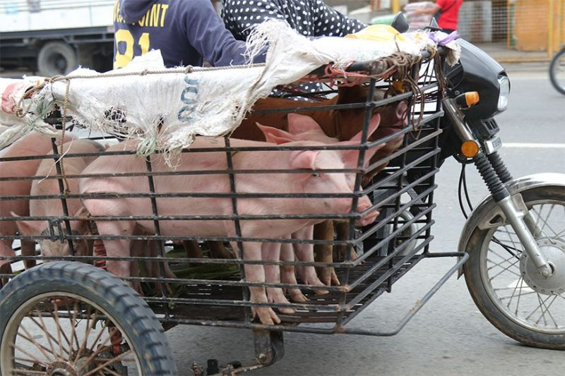 Live pigs on a side carrier of a trisikad in one of the public markets in Davao City. (Mark Perandos)