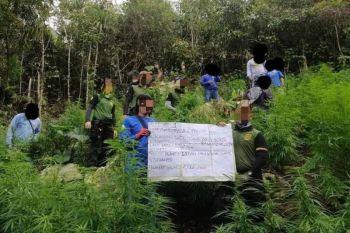 PLANTASYON: Mobalor og P4 milyunes sa tanom nga marijuana ang naibot sa kapulisan, Philippine Drug Enforcement Agency (PDEA) 7 ug Naval Forces Central (Navforcen) sa Barangay Sunog, Balamban niadtong Pebrero 12, 2020. (gikan sa FB page sa PDEA 7)