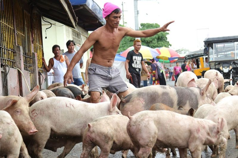 DAVAO. Commercial hog raisers, amid concern of the African Swine Fever (ASF) outbreak effect, are willing to lend a helping hand to backyard hog raisers. (File photo by Macky Lim)