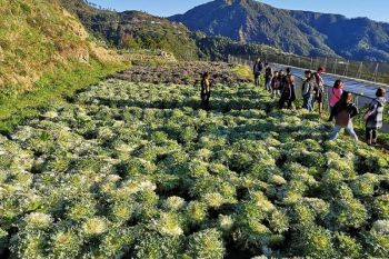 BAGUIO. Tourists are expected to swarm flower farms in Atok after the municipality announced they have lifted the temporary suspension on tourism activities effective February 22. (Photo by Dave Leprozo Jr.)