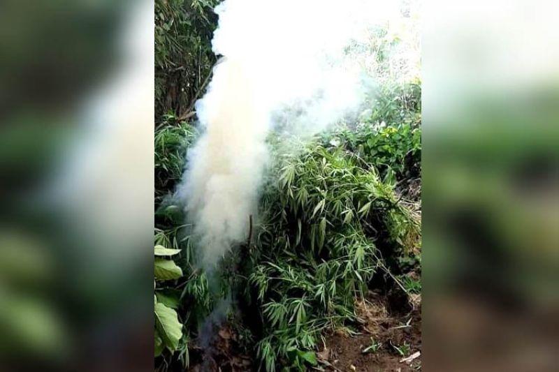GISUNOG: Mao kini ang usa sa mga tapok sa 15,000 ka mga punoan sa marijuana nga gisunod sa Cebu City Mobile Force Company sa Barangay Tagba-o sa Dakbayan sa Sugbo. (Tampo sa CMFC)