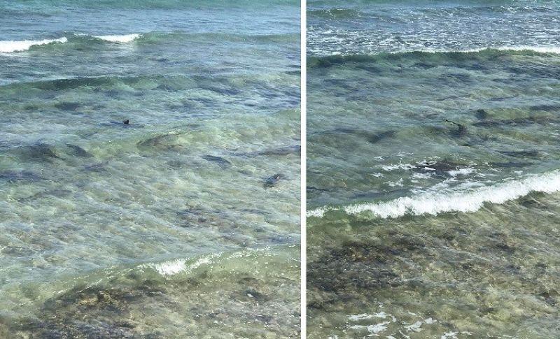 BABY SHARKS: Panon sa gagmay nga mga iho nakit-an sa baybayon sa Barangay Pasil, lungsod sa Santander. Kini nga baby sharks makita sa dapit gikan sa Pebrero hangtod sa Marso. Silik sa usa sa mga iho miguho (gilinginan). (Tampo ni Kier Belleza)
