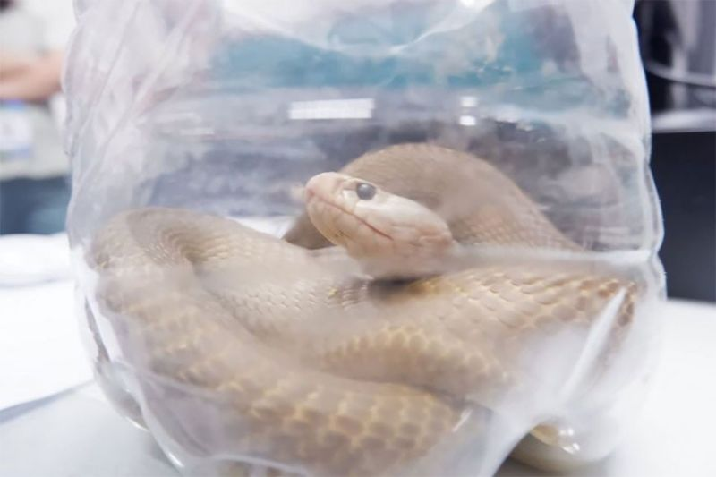 PAMPANGA. A group of barangay tanods in Barangay Claro M. Recto in Angeles City surrendered a threatened Northern Philippine cobra to the Department of Environment and Natural Resources Wednesday, February 26, 2020. (Contributed photo)