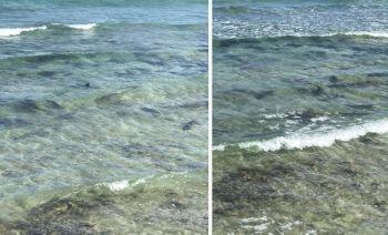 CEBU. Mga babay sharks kun bata nga iho nakit-an sa usa ka baybayon sa lungsod sa Santander, Sugbo. (Hulagway tampo ni Kier Belleza)