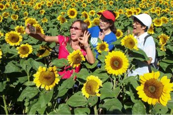 BAGUIO. Retired teachers Evelyn Agaser, Emma Flora, and Edith Saguid enjoy taking unlimited pictures inside the Darjane Sunflower Farm, a booming tourist attraction at Shilan, La Trinidad, Benguet. (Photo by Jean Nicole Cortes)