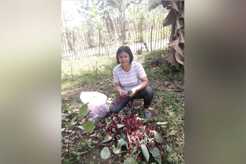 Abundant Harvest owner Maria Theresa Arandilla harvests Roselle flowers in her backyard. (Photo from Maria Theresa's Facebook)