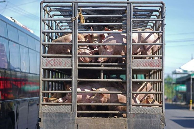 BACOLOD. Amid the ongoing scare brought by the African Swine Fever, the Provincial Veterinary Office notes an increase in the live weight price of hogs in Negros Occidental. (File/Macky Lim photo)