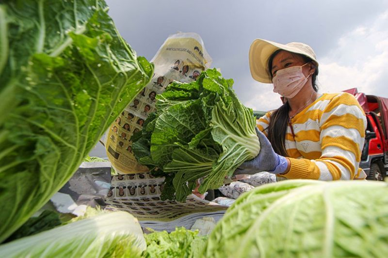 BENGUET. A farmer packs vegetables at the La Trinidad trading post. Vegetable traders are challenged to transport their goods due to the Luzon wide community quarantine. (Photo by Jean Nicole Cortes)