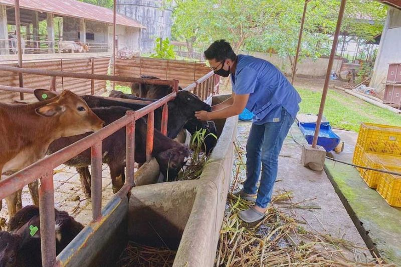 BACOLOD. Dr. Modesto Joseph Cañonero III, veterinarian of Provincial Livestock Breeding Center and Dairy Farm in Barangay La Granja in La Carlota City, feeds the animals being raised at the said Provincial Government-run farm. (Contributed photo)