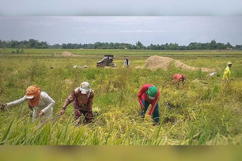 BACOLOD. The Department of Agriculture is giving about P102 million worth of financial subsidy to over 20,000 small rice farmers in Negros Occidental with each receiving P5,000. (Photo by Erwin P. Nicavera)