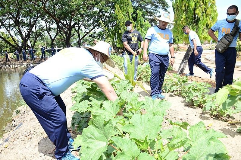 PAMPANGA. Police regional director Police Brigadier General Rhodel Sermonia leads the harvest of tons of produce from its 'Rektang Urban Gardening sa Kampo' project including fresh okra, eggplants, tomatoes, chili pepper and tilapia. (Contributed by Police Regional Office-Central Luzon)